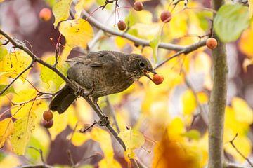 Merle sur un pommier ornemental avec des fruits mûrs sur ManfredFotos