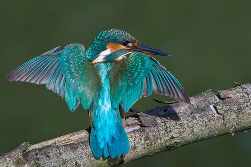 Eisvogel mit ausgebreiteten Flügeln auf einem Ast