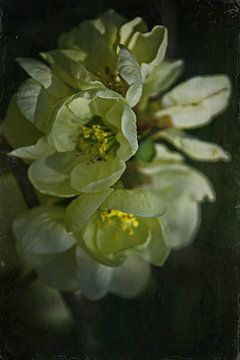 Frühlingsnacht - Quittenblüte von Christine Nöhmeier