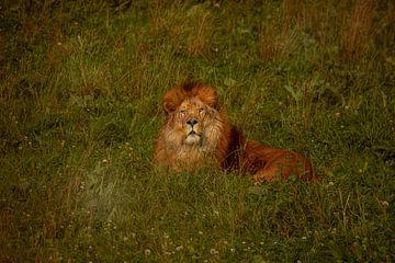 Leeuw op het gras van Laura Sanchez