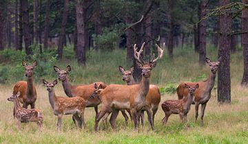 hertenfamilie van anja voorn