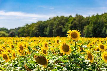 Zonnebloemen in de Loire vallei. van Easycopters