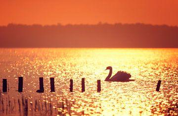 Zwaan in tegenlicht tijdens zonsondergang sur Martijn van Dellen