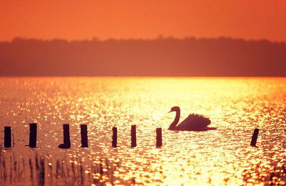 Zwaan in tegenlicht tijdens zonsondergang