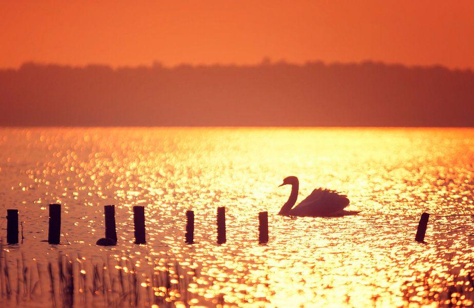 Zwaan in tegenlicht tijdens zonsondergang van Martijn van Dellen