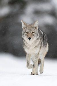 Coyote * Canis latrans * on its way, frontal shot van