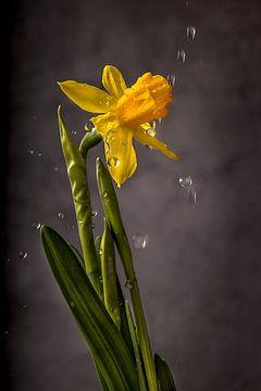 Narcis regen van natascha verbij