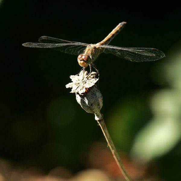 Libelle van Lynn van Baaren