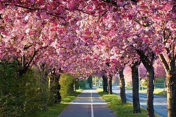 Kirschlüte im Holzweg in Magdeburg in Deutschland von Heiko Kueverling