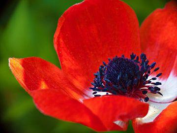 Rote anemone von Jessica Berendsen