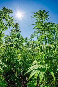Hanf oder Marihuana von Günter Albers