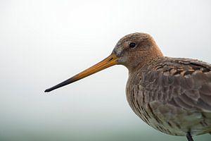 Black-tailed Godwit ( Limosa limosa), , close-up, headshot, detailed portrait