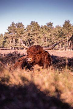 Schotse Hooglander Wezepsche Heide van S van Wezep