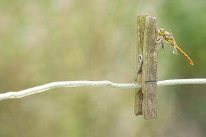 Steenrode Heidelibel op wasknijper