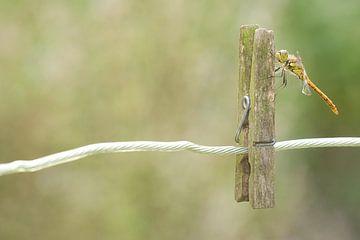 Steinroter Heidelibel auf Wäscheklammer von Jeroen Stel