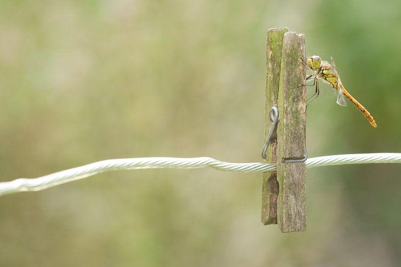 Steenrode Heidelibel op wasknijper van Jeroen Stel