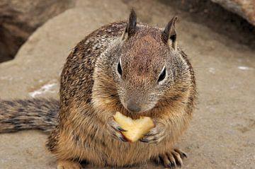squirrel van Fred van den Brink