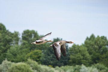 Twee vliegende ganzen van Gerard de Zwaan