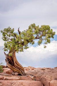 Eenzame boom,  Lonely tree van