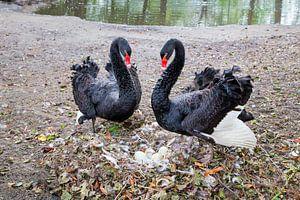 Koppel zwarte zwanen met eieren in nest.