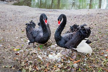 Paar schwarze Schwäne verteidigen Eier im Nest am Teich von Ben Schonewille