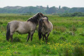 Konikpaarden op Lentevreugd van Dirk van Egmond