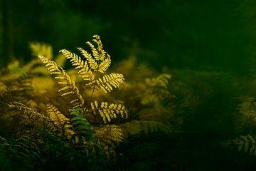 Ferns von E. Ruis