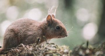 Eekhoorn op mos van Harm-Jan Tamminga