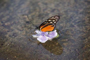 Monarchvlinder op bloem in het water von Ronald en Bart van Berkel