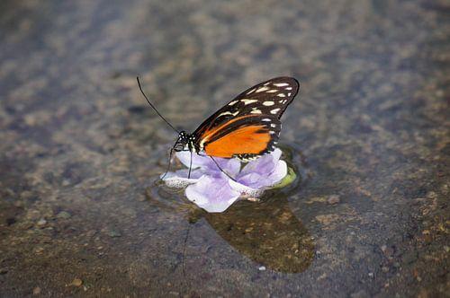 Monarchvlinder op bloem in het water