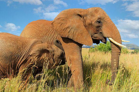 Afrikaanse moeder olifant met kalf