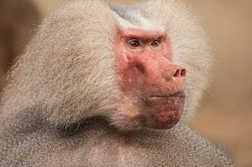 Close up van een dominante mannetjes Baviaan die streng voor zich uit kijkt van Henk van den Brink