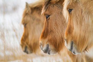 Noorse Fjordenpaarden op een rij van Easycopters