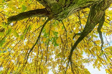 Hängende Blätter und Zweige vom Baum im Herbst von Ben Schonewille