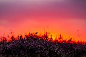 Heidekraut bei Sonnenuntergang von Berdien van Drogen