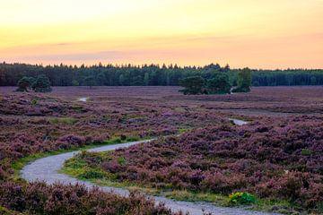 Blooming Heather plants in Heathland landscape during sunset in  von Sjoerd van der Wal