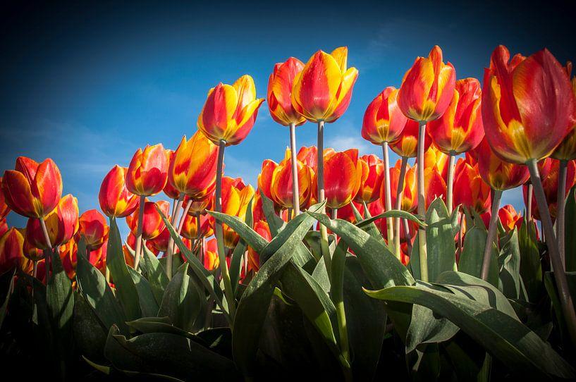 Oranje Rode Tulpen 002 van Alex Hiemstra