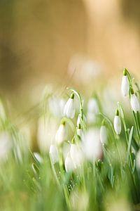 Sneeuwklokje (Galanthus) von