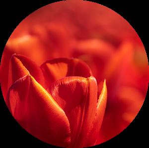 Rode Hollandse tulp close up van Michel Seelen