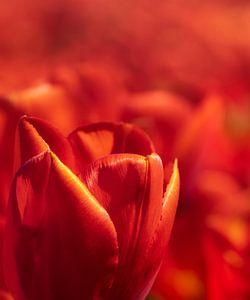 Rode Hollandse tulp close up