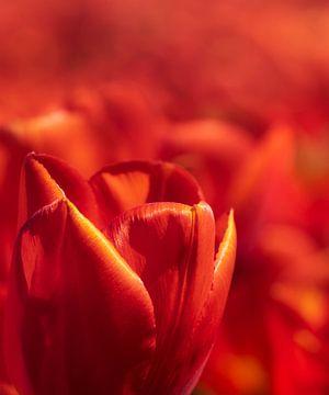 Rote holländische Tulpe Nahaufnahme von Michel Seelen