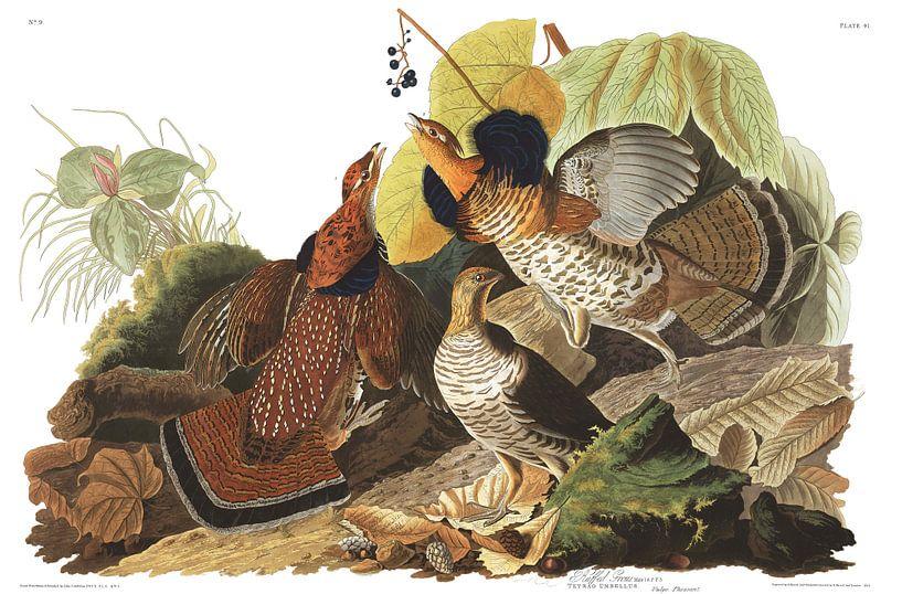 Kraaghoen van Birds of America