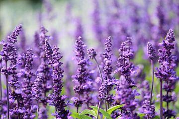 Lavendel van Heike Hultsch