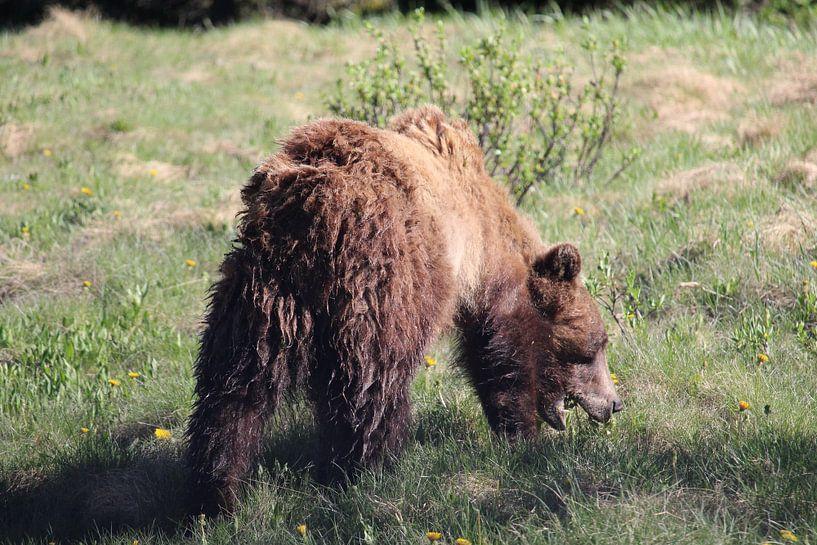 Grazende grizzlybeer in Banff National Park, Canada van Remco Phillipson