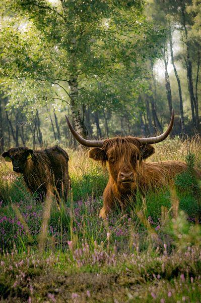 Hooglanders in het bos van Laura Drijfhout