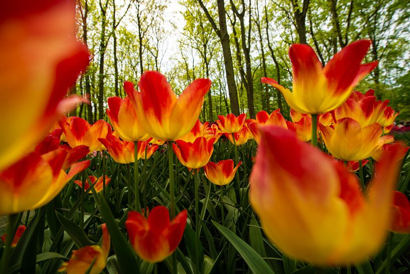Tulpen uit Holland van Brian Morgan