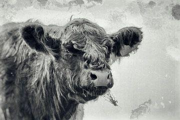 Schotse Hooglander - Wet Plate van Floris Kok
