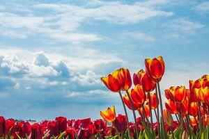 Noordwijkse tulpenvelden van