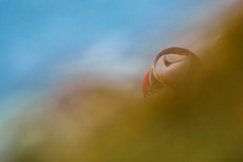 Papegaaiduiker van