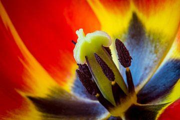 Macro opname van een tulp sur Arjen Schippers